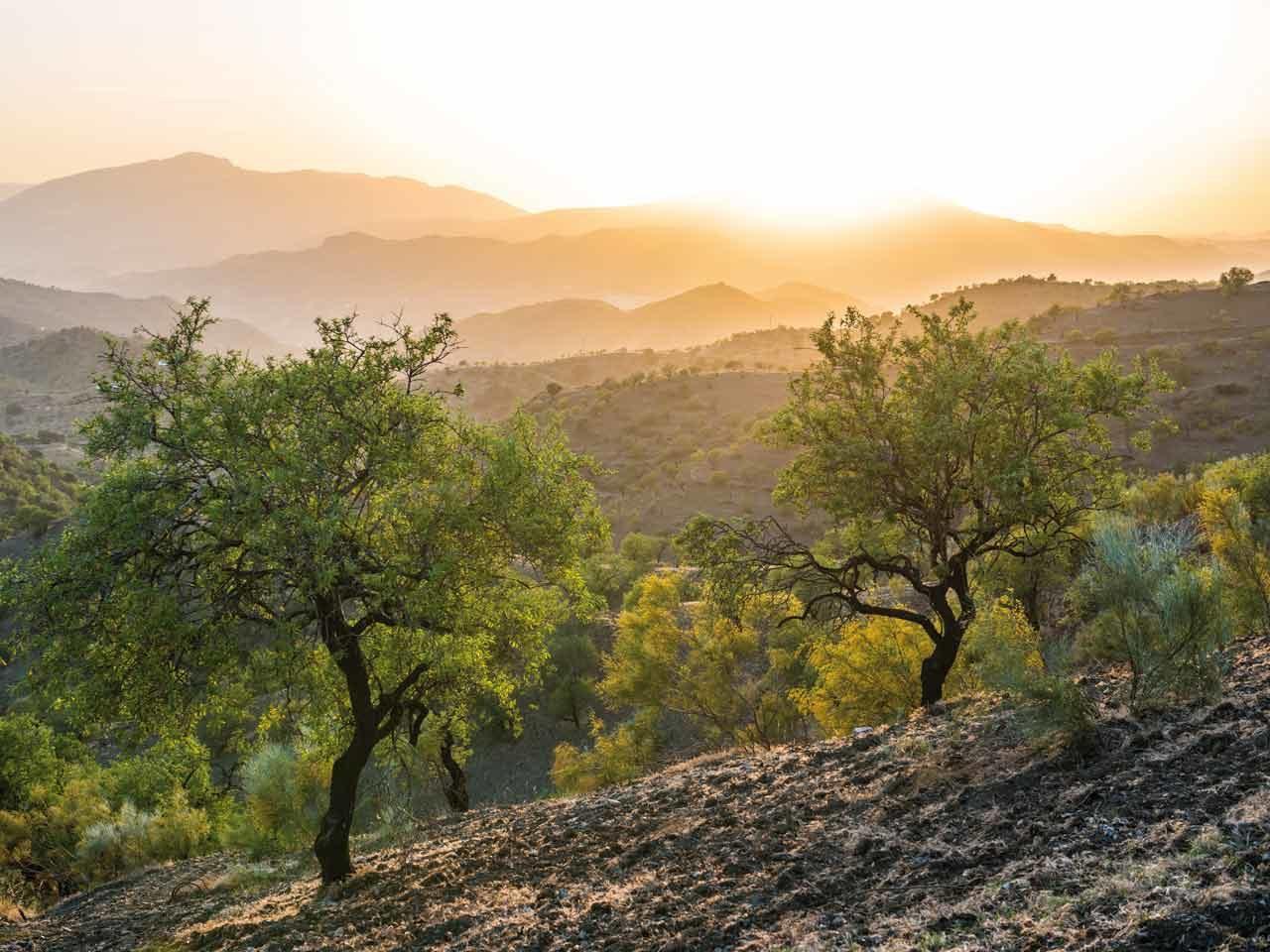 Champs d'oliviers du bassin méditerranéen