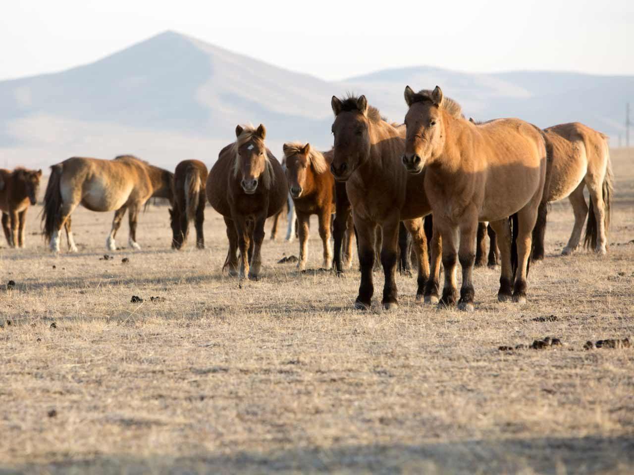 Aduu Mal Mongolie cuir équidé