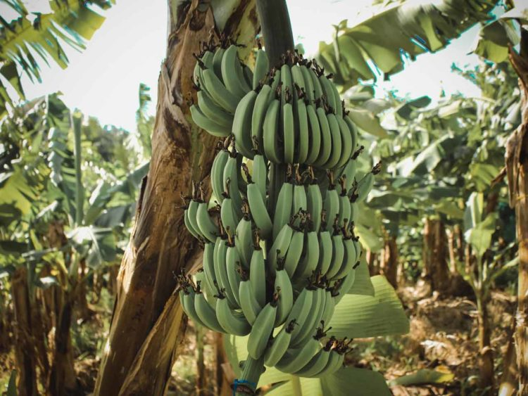 fibre banane Green Whisper textile