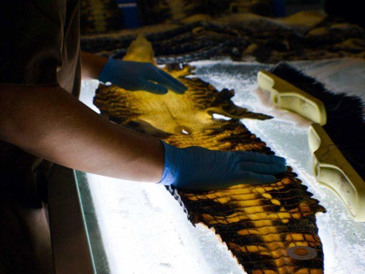 La Patrie se fournit strictement auprès des membres de l'association internationale des éleveurs de crocodiliens implantés en Louisiane, qu'elle visite plusieurs fois par an. L'ICFA fédère une douzaine d'entités qui se sont rapprochées en 2016 afin de satisfaire l'exigence de traçabilité et de qualité, fondée sur le bien-être animal.